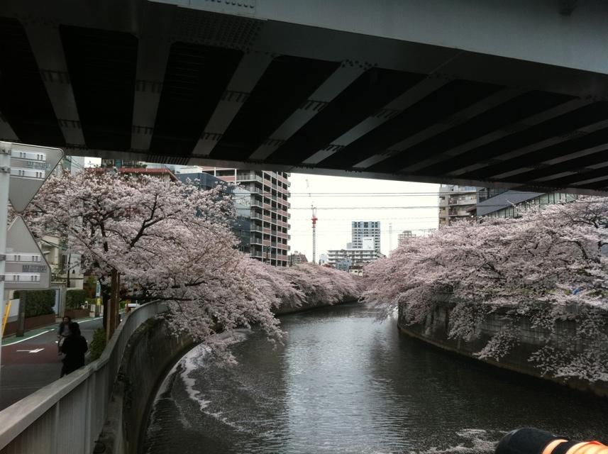 下目黒 目黒川の桜