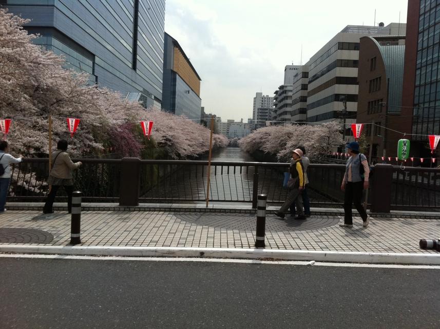 目黒雅叙園前の目黒川 太鼓橋の桜
